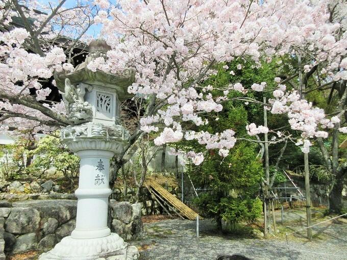 近江神宮の桜